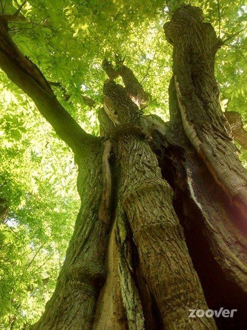 de dikste boom van Nederland. Berg en Dal 22 jan