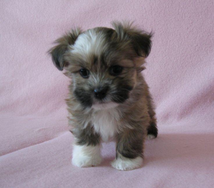 havanese puppies  http://www.akchavanese.com