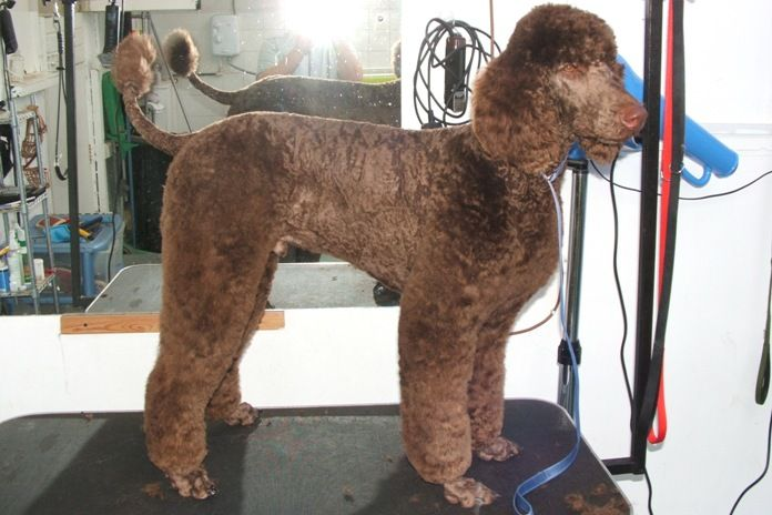 Standard Poodle Cuts | Standard Poodle | POODLES | Pinterest