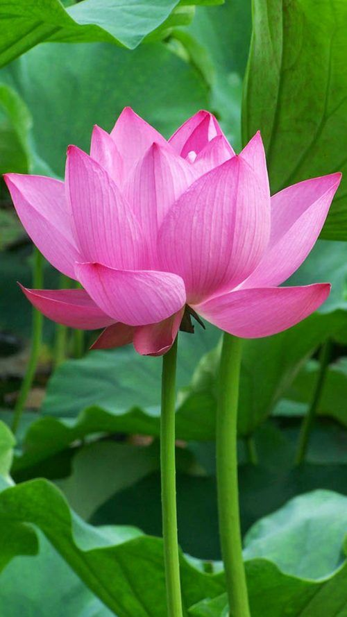 Oneplus 5 Wallpaper With Lotus Flower Background Phone Wallpaper