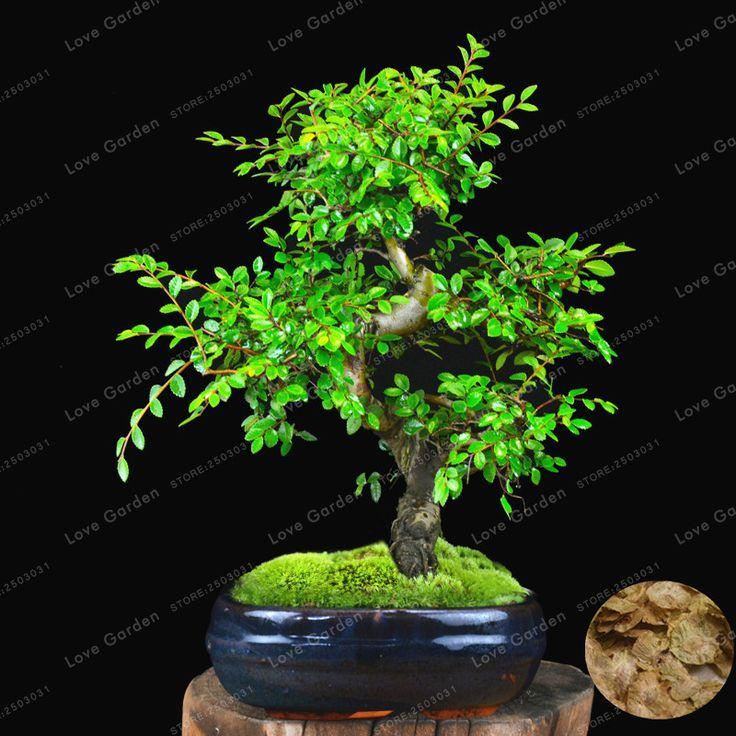 """Résultat de recherche d'images pour """"bonsai orme japonais pinterest"""""""