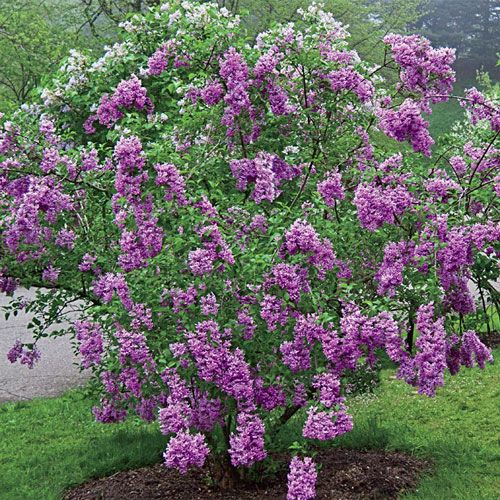 Buy 'Lilac Sunday' Lilac Collection At Spring Hill Nurseries