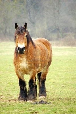 A Belgian work horse in a meadow   belgisch trekpaard