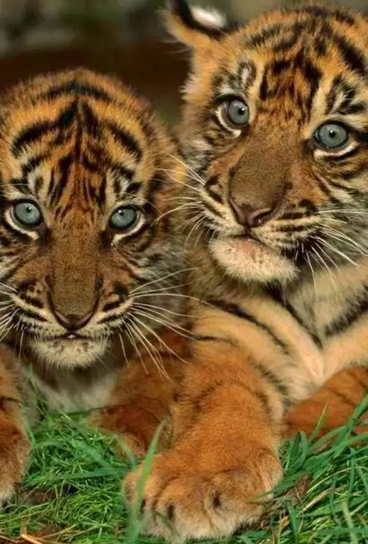 36 best eye of the tiger images on pinterest