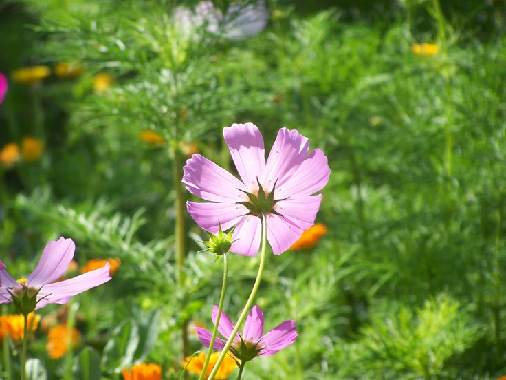 - Cosmos (Cosmos bipinnatus)  Eloquence. Calm and confident self-expression in front of the audience. Recommended for orators, actors, authors. For shy, introverted and insecure people to help clearing their thoughts  and makes them easier to discuss.