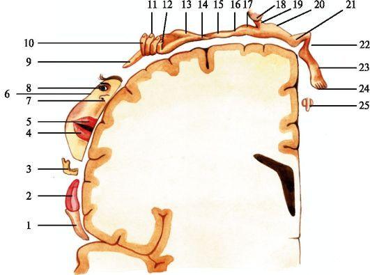 Представительство чувствительных функций в задней центральной извилине I - глотка; 2 - язык; 3 - зубы, десны, челюсть; 4 - нижняя губа; 5 - верхняя губа; 6 - лицо; 7 - нос; 8 - глаза; 9 - I палец кисти; 10 - II палец кисти;  II - III и IV пальцы кисти; 12 - V палец кисти; 13 - кисть; 14 - запястье; 15 - предплечье; 16 - локоть; 17 - плечо; 18 - голова; 19 - шея; 20 - туловище; 21 - бедро; 22 - голень; 23 - стопа; 24 - пальцы стопы; 25 - половые органы