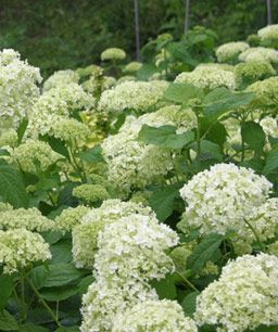 Pruning Hydrangeas: Knowing if your shrub blooms on old or new wood will help you make timely cuts