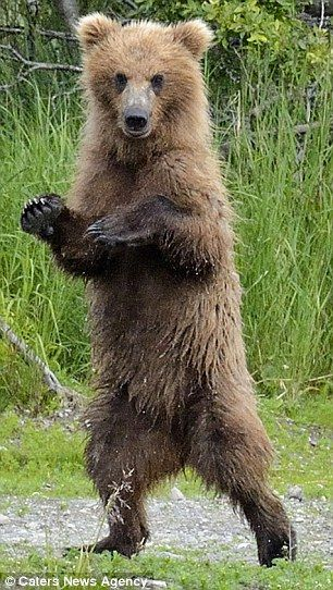 Dancing bear: Although the grizzly was drying himself off, it looked as if he was dancing to the 2012 hit song  GANGMAN STYLE