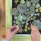 hacer-un-artistico-jardin-vertical-de-suculentas-11