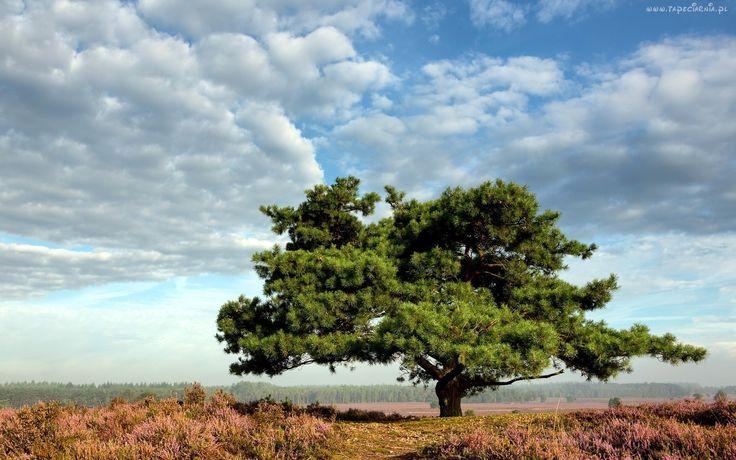 Pole, Wrzosowisko, Drzewo, Niebo