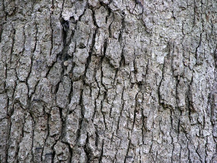 live oak tree bark - Google Search