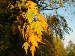 Image result for betula pendula autumn