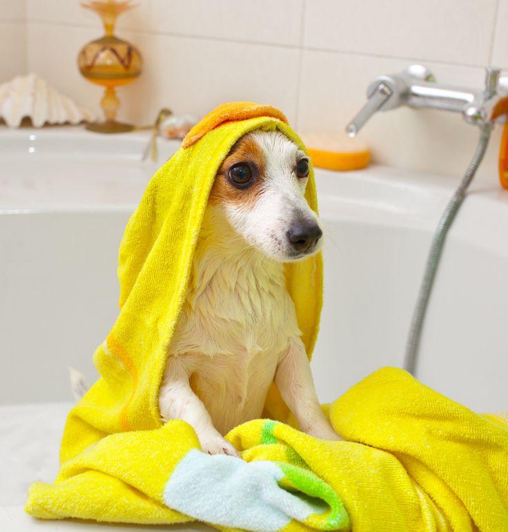 Baños Estilo Ajedrez:Mitos sobre los baños de los perros Los perro no necesitan baños