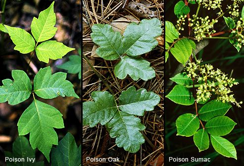 Going for a hike? Avoid these plants. All three contain urushiol -- an oil that cause an itchy, blistering rash. Learn more & share!