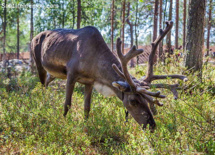 Santa Claus' reindeer in summer Rovaniemi in Lapland