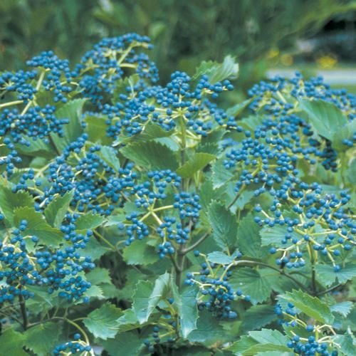 Blue Muffin® Arrowwood Viburnum Creamy white summer flowers are followed by blue fruit in late summer. Chicago Lustre is a good pollinator. May be trimmed after flowering (leave flowers for fall berries.) Native. Deer resistant. Fruit is good for birds but not humans.