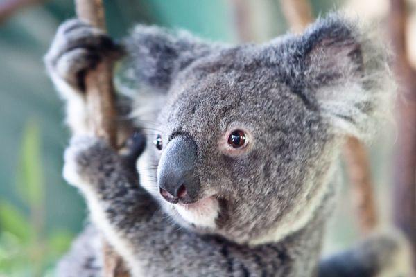 Pat a koala at Koala Park Sanctuary