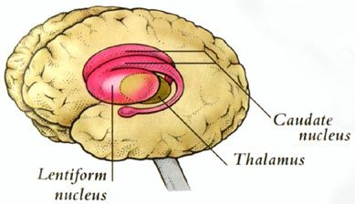 The basal ganglia are masses of nuclei, of gray matter found deep in the brain which are involved in the control of movement sequences such as in walking. It is made up of the globus pallidus, caudate nucleus, putamen, substantia nigra, and subthalamic nuclei.