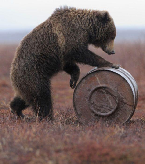 Photo extraite de Des ours bruns devenus accros au kérosène dans une réserve naturelle de Russie (5 photos)