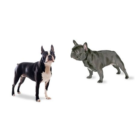 French Bulldogs VS Boston Terriers! The Difference between Boston Terriers & French Bulldogs ► http://www.bterrier.com/what-is-the-difference-between-boston-terriers-and-french-bulldogs/