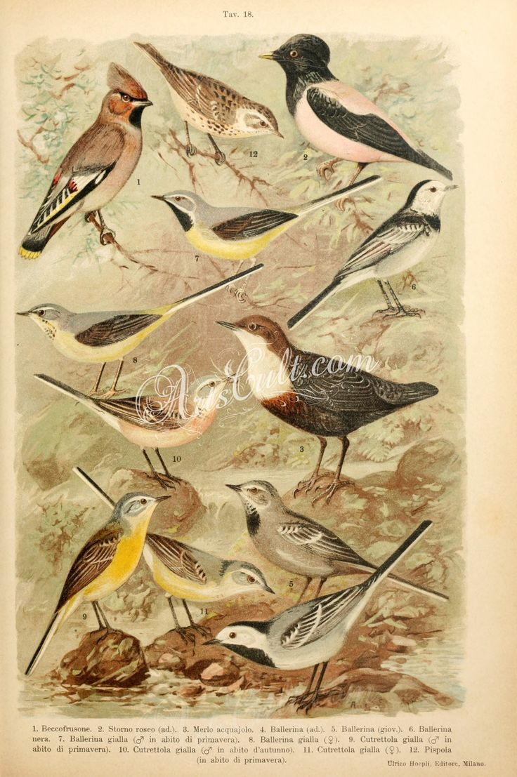 004-Bohemian Waxwing, Rosy Starling, White-throated Dipper (Southern European), White Wagtail, White-browed Wagtail, Grey Wagtail, Western Yellow Wagtail, Meadow Pipit      ...