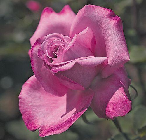 'Fragrant Plum' - Hybrid Tea, strong fruity fragrance.   Zone 5.   #roses #pink #plum