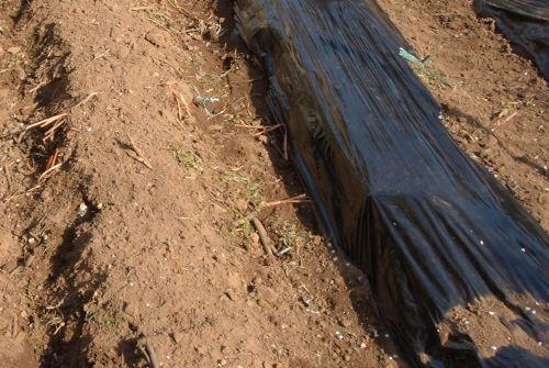 La pacciamatura con telo nero è molto indicata nella coltivazione delle fragole