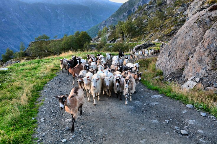 Goats make their way back up Gudmedalen after milking