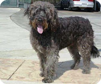Lathrop, CA - Poodle (Standard)/Schnauzer (Standard) Mix. Meet Cody, a dog for adoption. http://www.adoptapet.com/pet/12838986-lathrop-california-poodle-standard-mix
