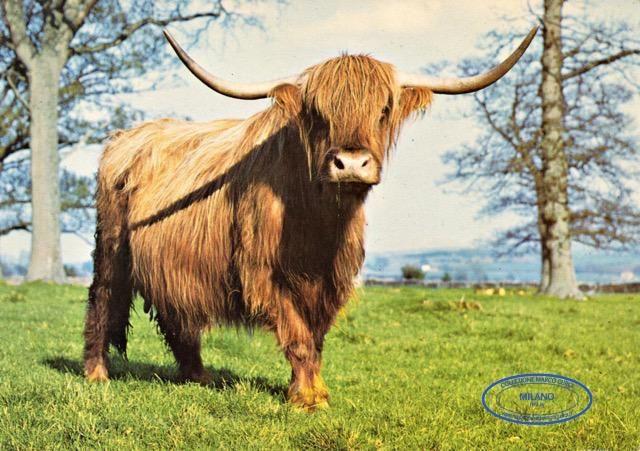"""Highland Cow """"Bridgette Bardot"""" at Cotswold Farm Park"""