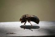 Cicada summer 2011 (My Photo)