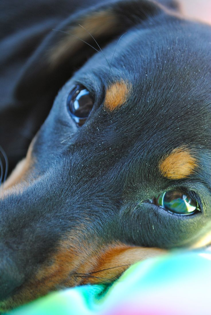 best sweet babies images on pinterest dachshunds dachshund