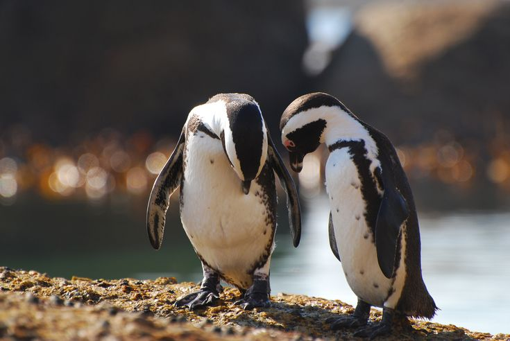 Did you ever notice that we don't have knees? Read more about the penguin colony in #CapeTown on our website.