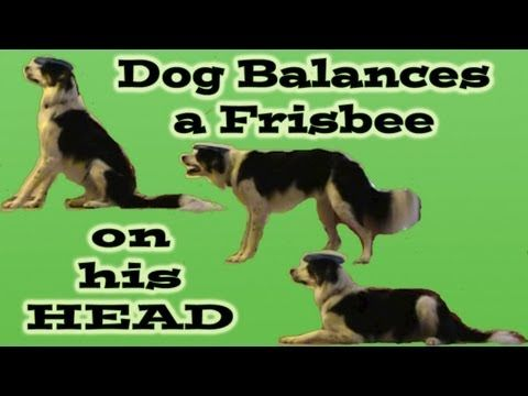 Best Dog Tricks Images On Pinterest Dog Dogs And Beer - Owners balances objects on dogs head
