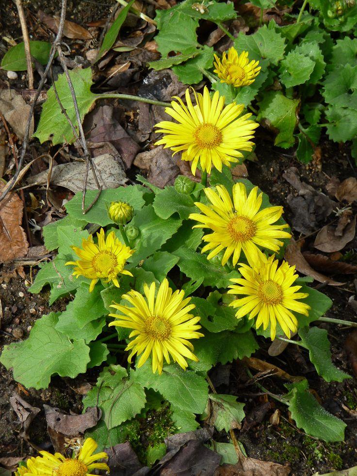 Les 25 meilleures id es de la cat gorie fleurs jaunes vivaces sur pinterest plantes vivaces - Plantes vivaces fleuries ...
