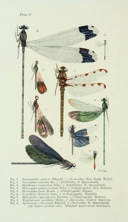 Plate taken from 'The Biology of Dragonflies' by R. J. Tillyard. Published by Cambridge University Press (1917). archive.org