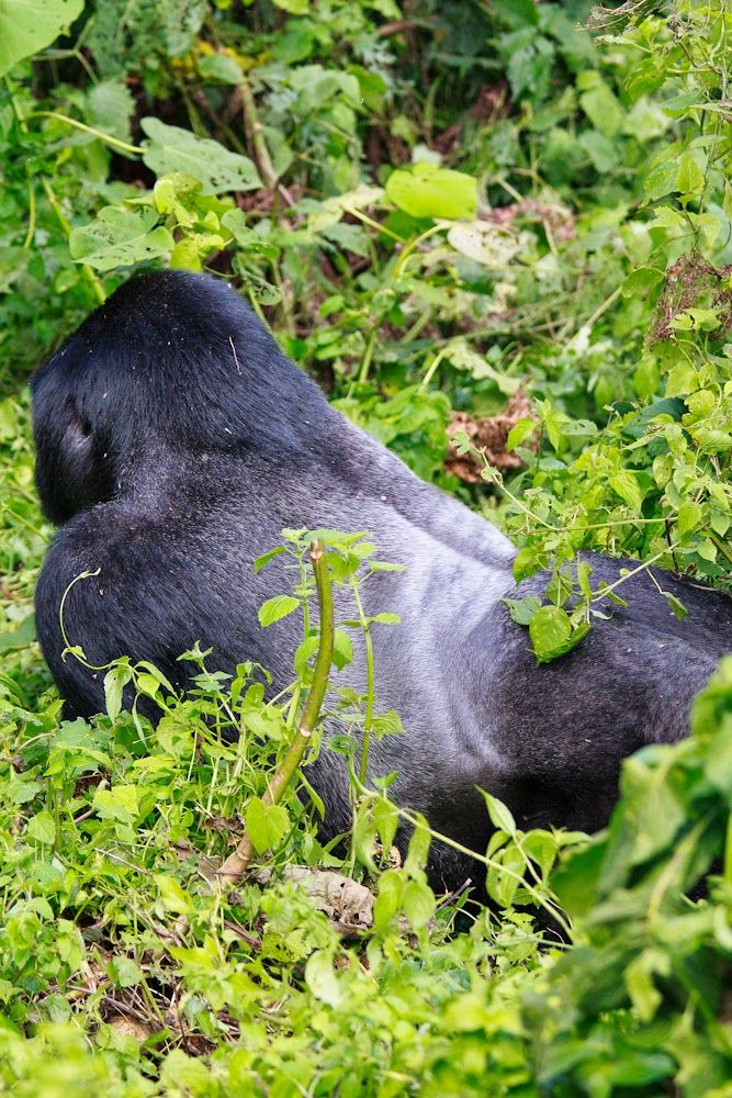 Why not?: Bwindi National Park: I penetrated the impenetrabl...