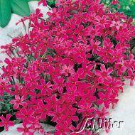 Pinkfarbener Polsterphlox