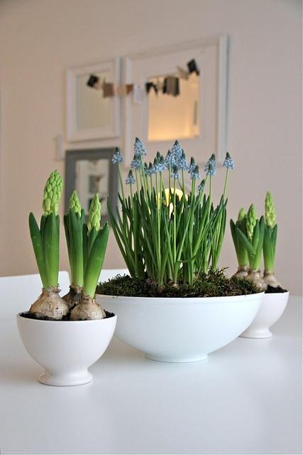 spring: bringing hyazinths inside