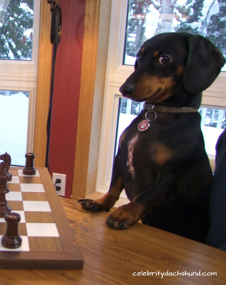 Wiener dog playing chess! Love this little one's face!