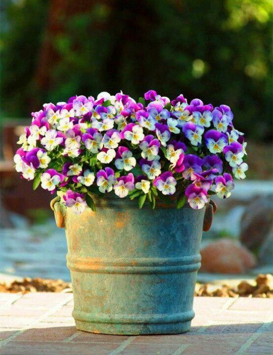 Pansies - idea for a winter container by the front door
