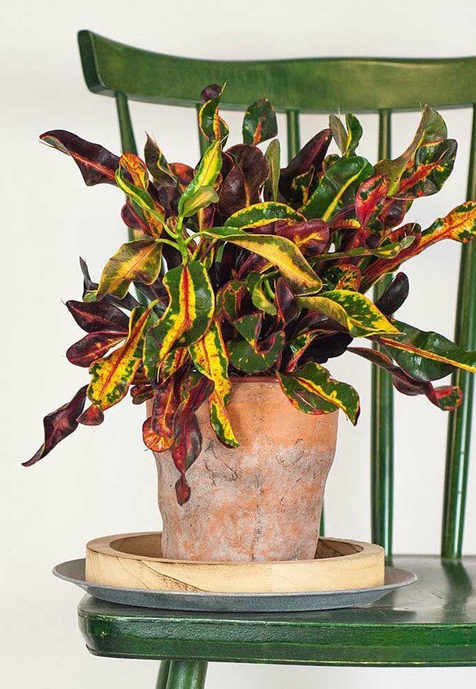 A Croton Traz A Beleza De Um Pequeno Arbusto Para Vasos Pequenos