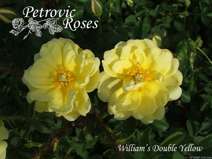 'Williams' Double Yellow' Rose Photo