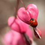 Bleeding heart and lady bug!Pink Flower, Bleedingheart, Plants, Colors Palettes, Bleeding Hearts, Ladybugs, Insects, Lady Bugs, Birds