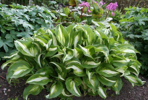 Hosta (plantation lily)