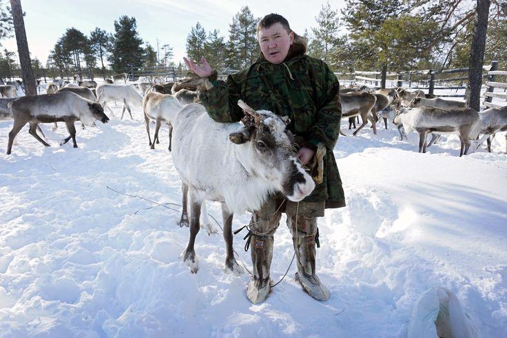 En Sibérie, les éleveurs de rennes face au rouleau compresseur pétrolier : Geo.fr