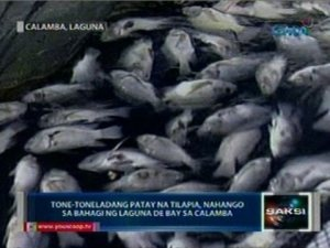 (May 25) As of Friday, about 10 metric tons of dead tilapia were recovered from the Laguna Lake, particularly in the coastal villages of Masili and Sucol in the Phillipines.