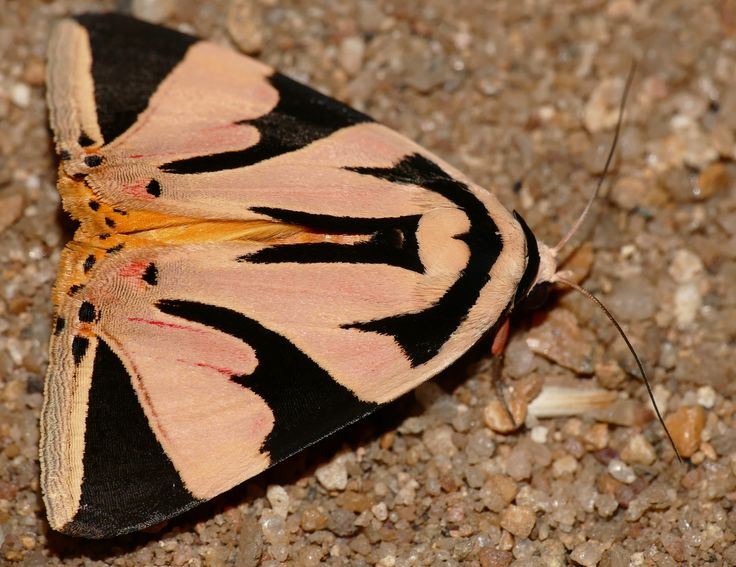 Erebid Moth: Attatha barlowi - Bhubesi Camp, Hlane Royal National Park, Swaziland