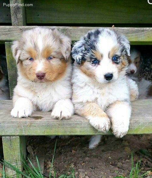 Red Merle and blue merle Australian Shepherds