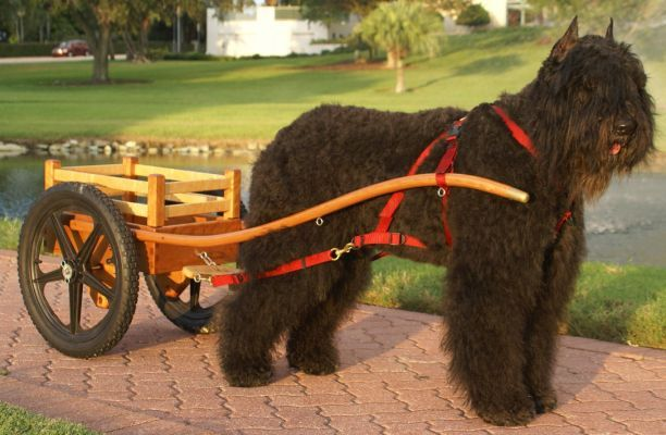 Great way to bring home the groceries...Bouvier des flandres in a Wilczek handmade dog cart